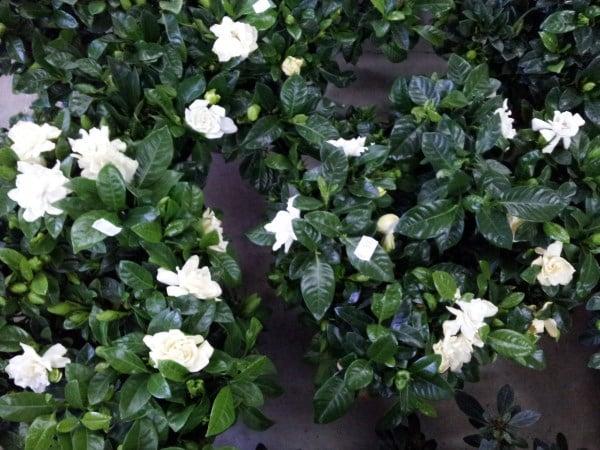 Gardenia-coltivazione