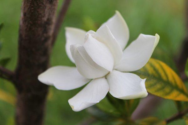 fiore-gardenia