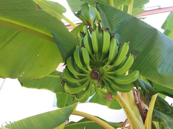 Banano-Banane