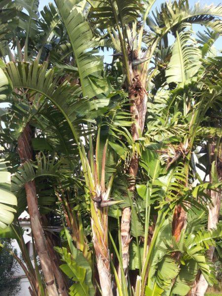 Banano-albero