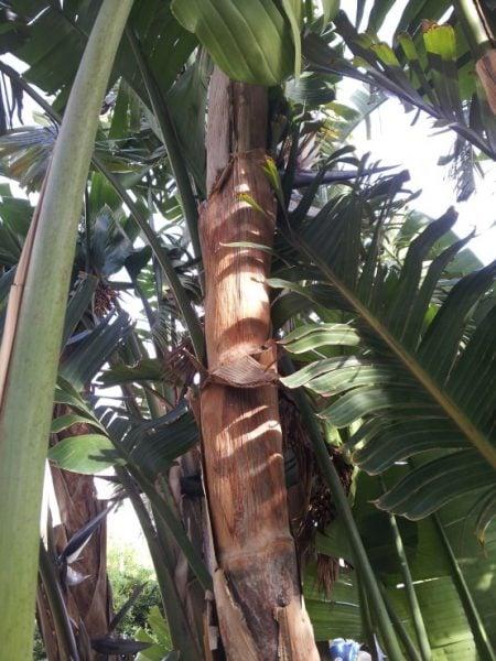 Banano-fusto