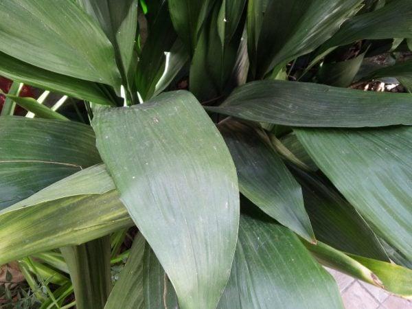 aspidistra-pianta-sempreverde