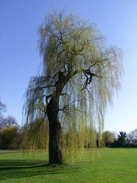 Salice-Salix-babylonica