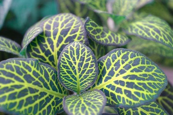 fittonia-foglie-variegate