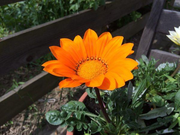 gazania-foglie-fiore