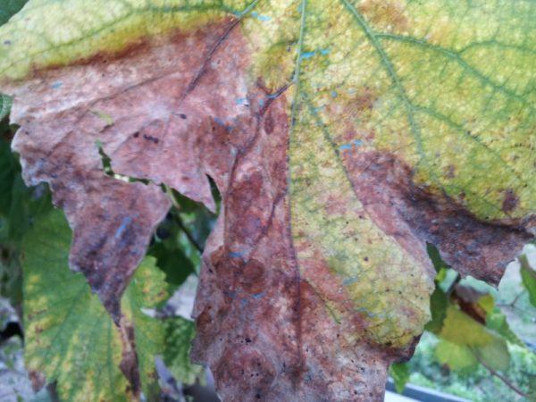 Peronospora-Plasmopara viticola