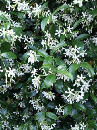 rincospermo-gelsomino-fioritura