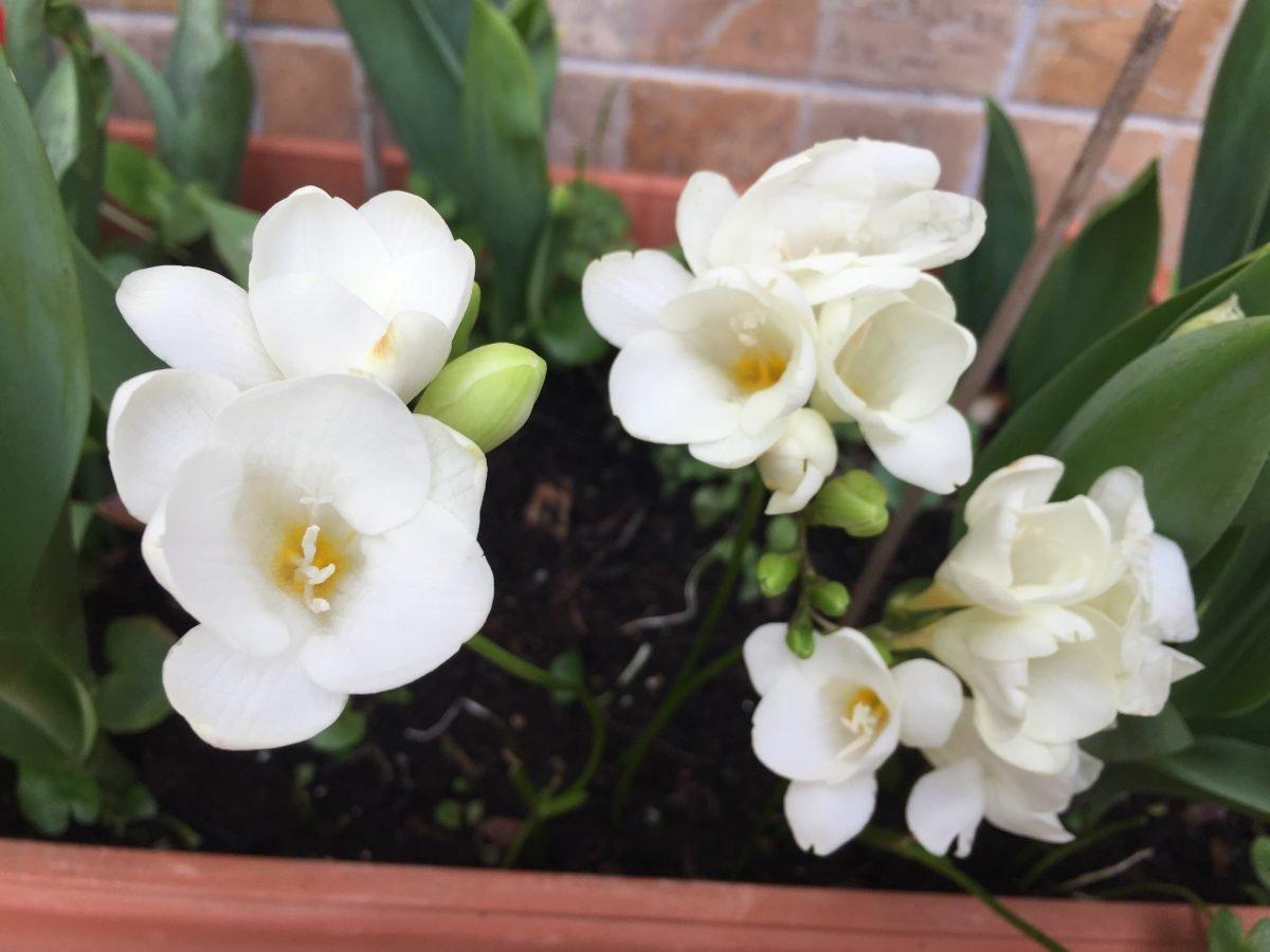 Fresia-linguaggio-fiori