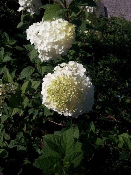 Ortensia-paniculata-fiore