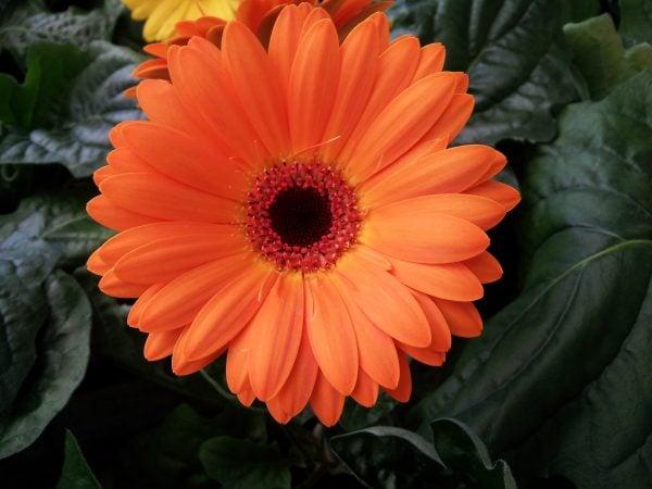 gerbera-fiore-foglie