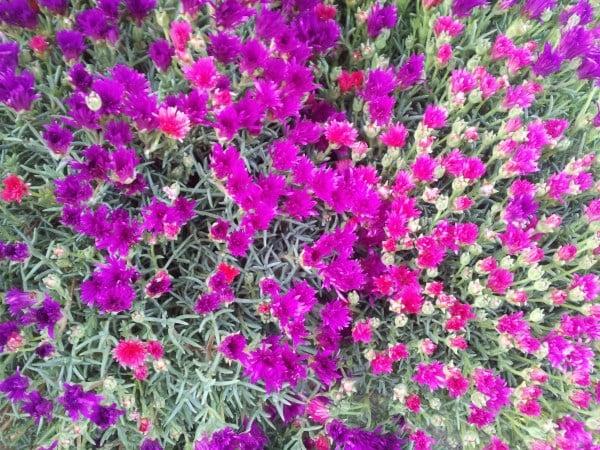 Delosperma-fioritura