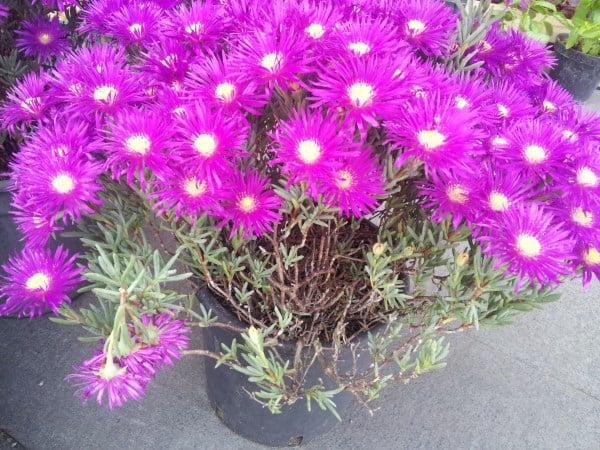 Mesembrantemo-Mesembryanthemum