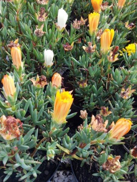 Mesembriantemo-fiori-gialli