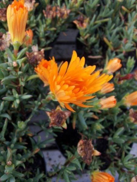 Mesembriantemo-fiore-arancio