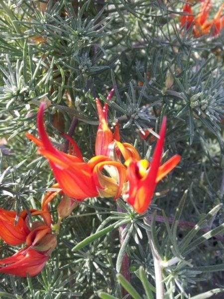 Lotus-berthelotii-foto