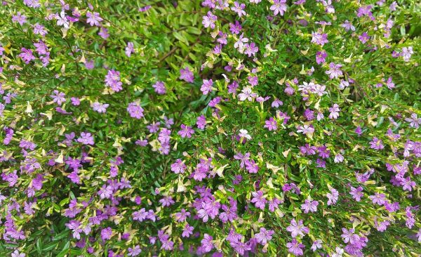 Cuphea-pianta