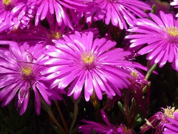 Mesembrantemo-fiori