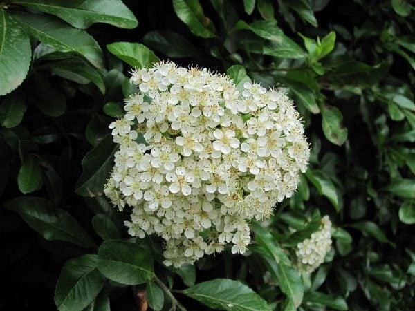 piracanta-fiori