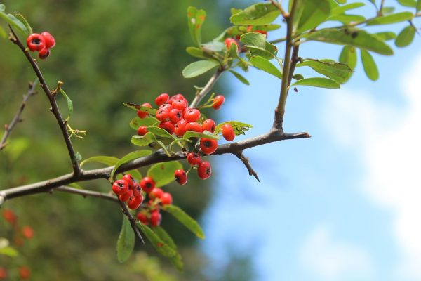 piracanta-rami-frutti