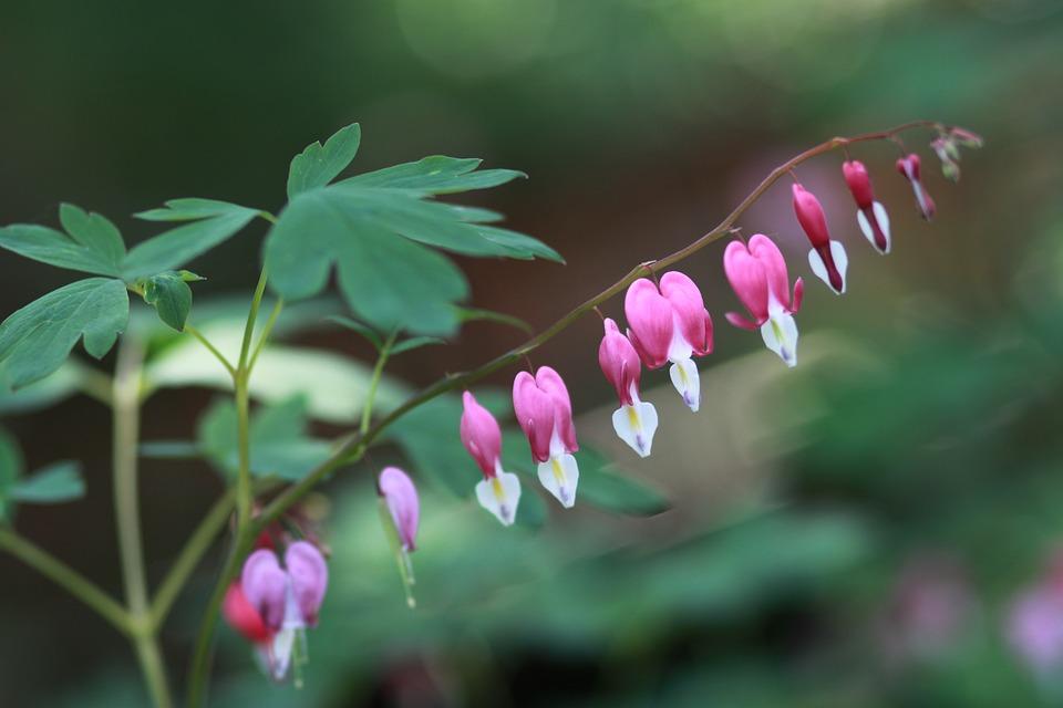 Dicentra-foglie-fiori