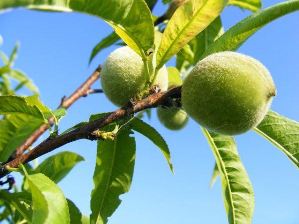 Frutteto lavori giugno