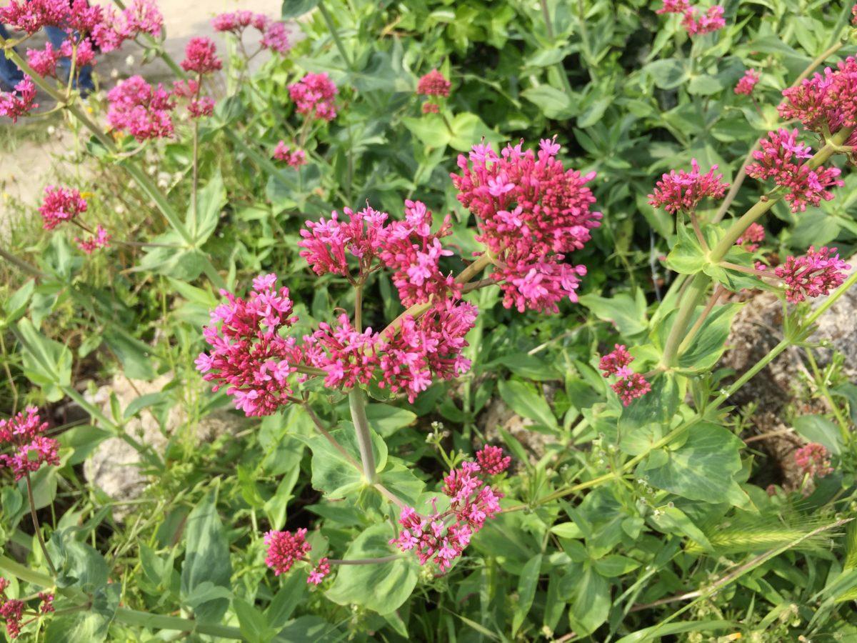 Centranthus ruber-Valeriana rossa