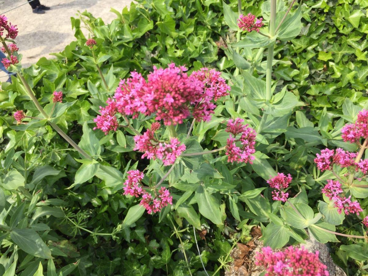 Valeriana rossa-Centranthus ruber