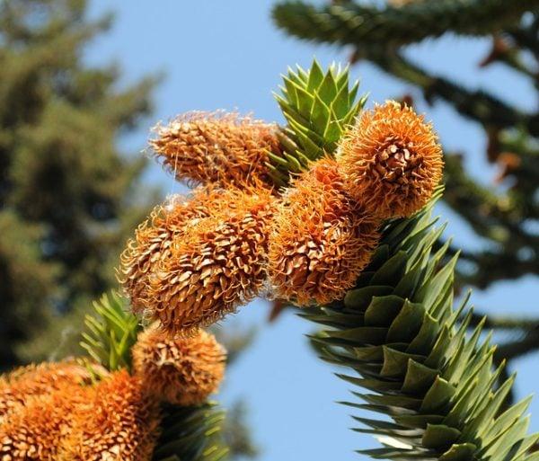 Araucaria araucana coltivazione
