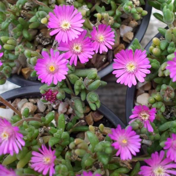 drosanthemum-hispidum-coltivazione