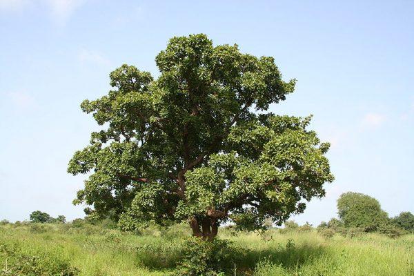 albero-di-karité