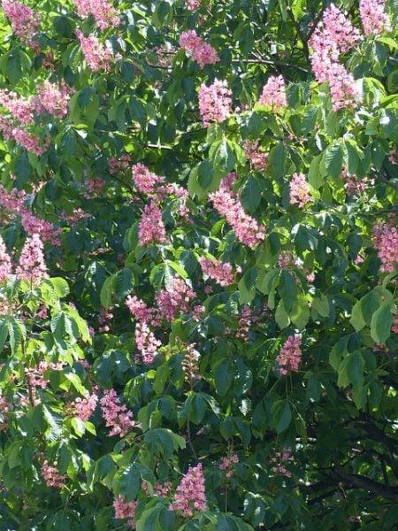 ippocastano-fioritura