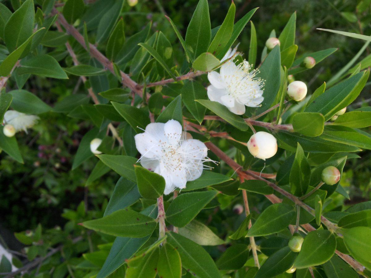 Mirto-Myrtus-fiori