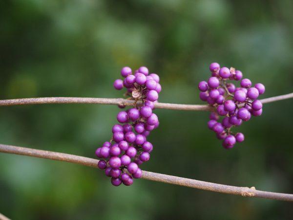 Callicarpa-bacche-rosa-violacee