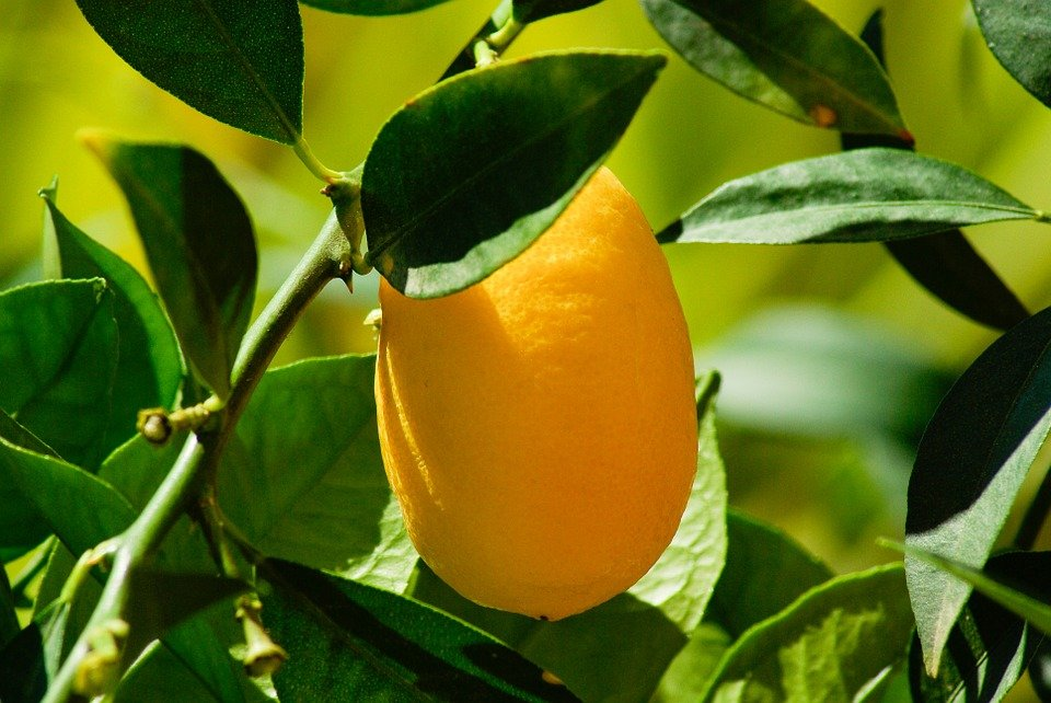 kumquat-buccia