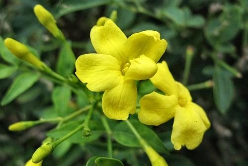 Gelsomino giallo jasminum humile revolutum for Gelsomino potatura