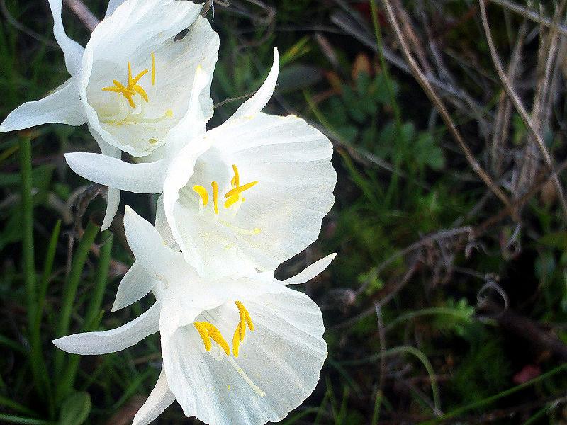 Narcissus-cantabricus