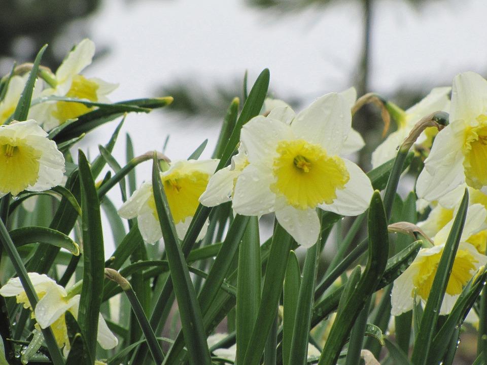 Narciso-usi