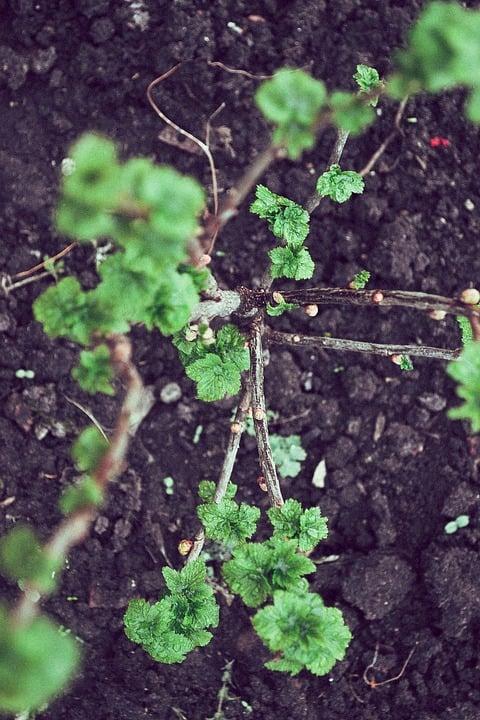 Ribes-piantine-impianto
