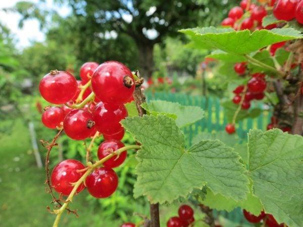 Ribes – Ribes rubrum coltivazione