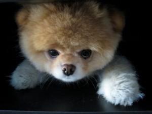 Boo Volpino: un cagnolino che è già una star