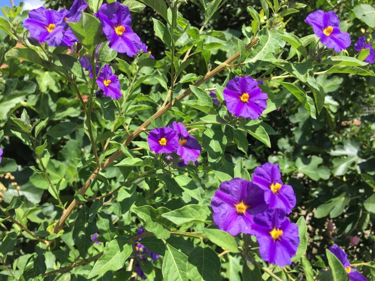 Solanum rantonettii-potatura