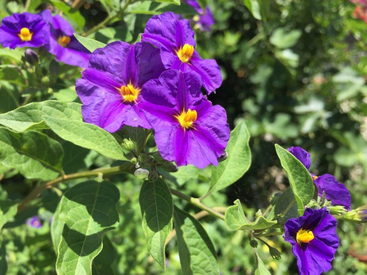Rantonetto-fioritura