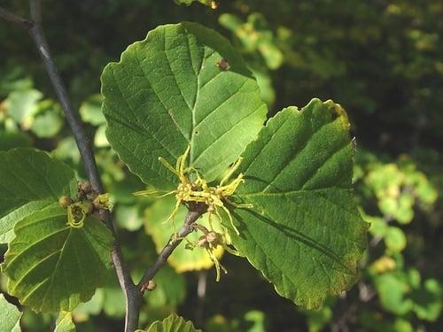 Amamelide-foglie