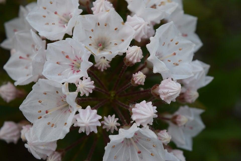 kalmia-latifolia-Alloro di montagna