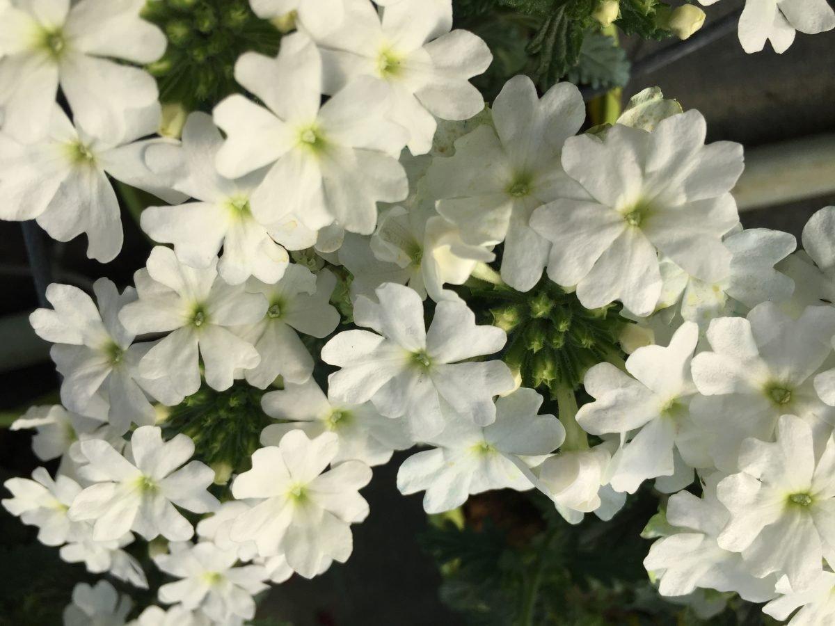 Verbena canadensis