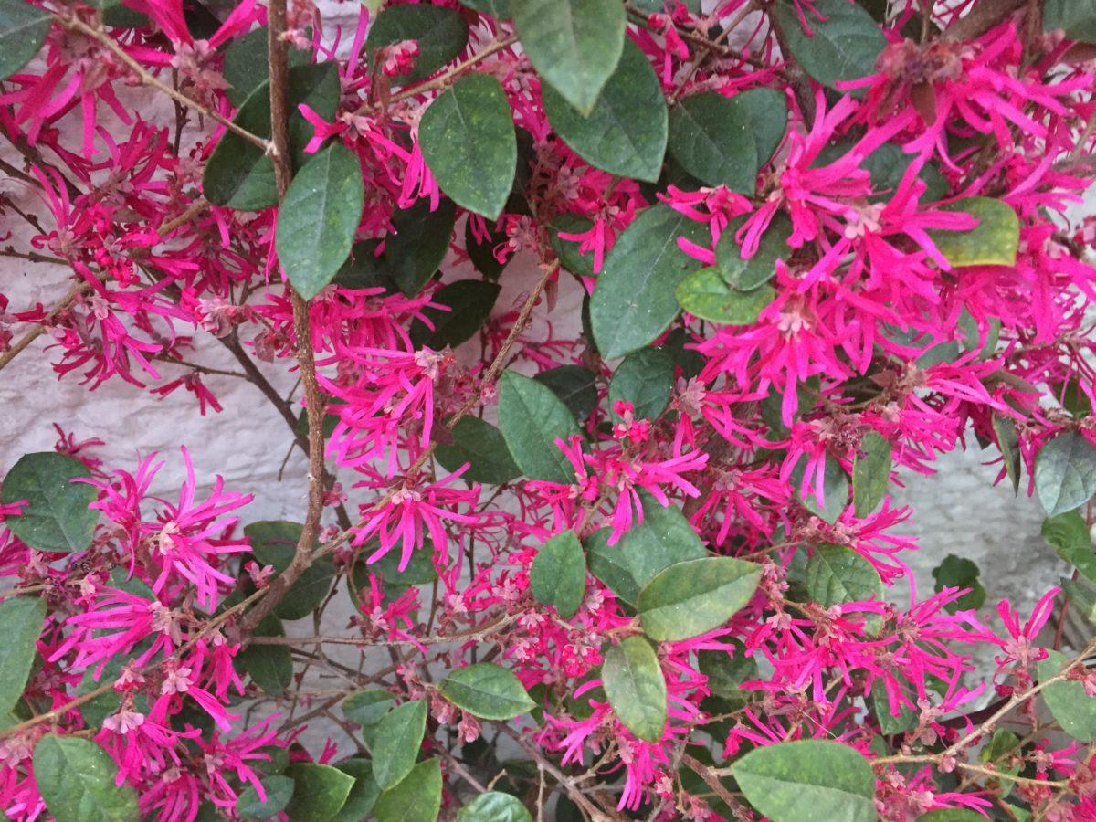 Loropetalum-fioritura