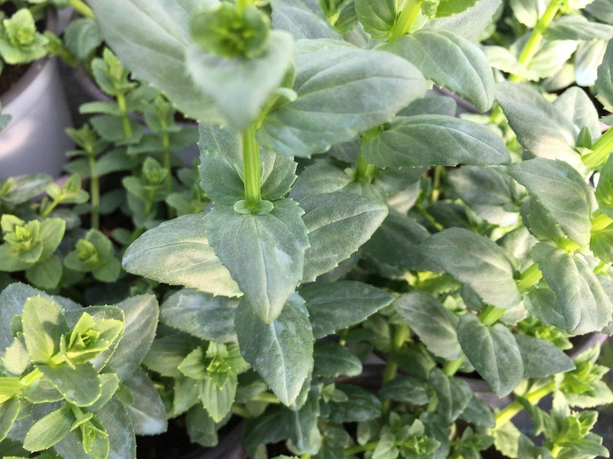 Diascia cordata-foglie