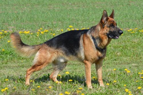 foto-pastore-tedesco