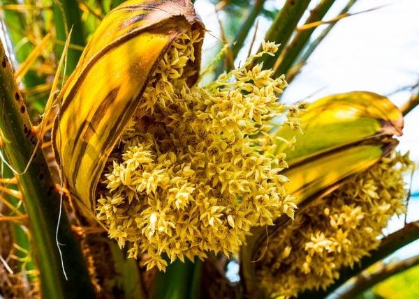 fiori-palma