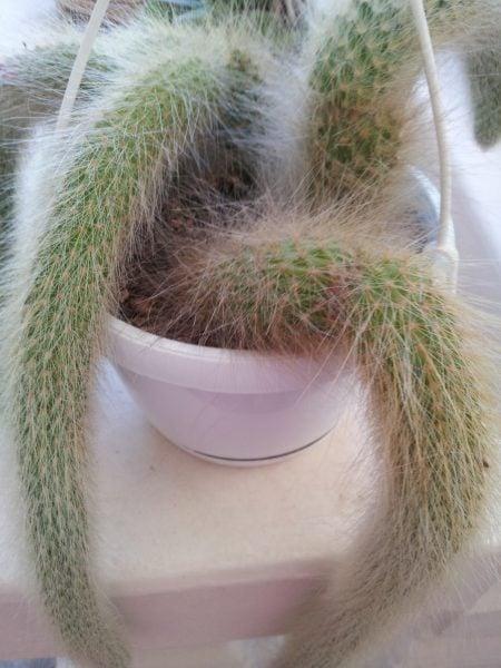 Cleistocactus-Cleistocacto